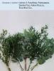 Option 2: Parvifolia, Podocarpus, Seeded Euc, Italian Ruscus, True Blue Euc,