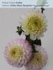 Dahlia -White, Blush, Burgundy *This is a seasonal Flower*